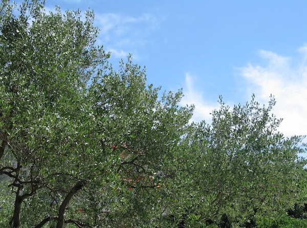 Pogled iz konobe Nono na mlade krčke masline, krčko nebo i more (Snimila Božica Brkan/ Oblizeki)