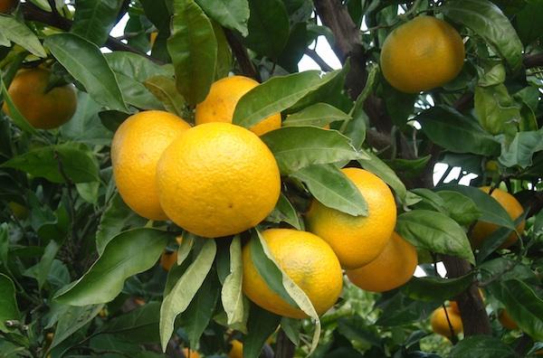 I mandarine s Neretve odad su zaštićene oznakom izvornosti (Fotografija Ministarstvo poljoprivrede RH)