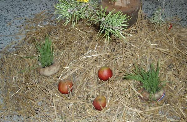 Na Luciju pšenica posijana u repu (Snimio Tibor Martan / Oblizeki)