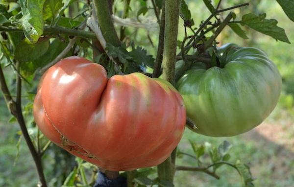 Još u vrtu: važno da je sočna i zrela, neovisno o boji (Fotografija Božica Brkan / Oblizeki)