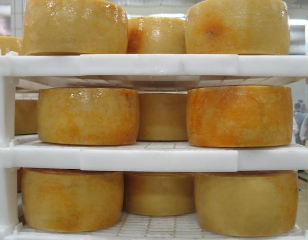Sirana Gligora ima sireve u svjetskome vrhu, a pašli jer sir zaštićena delikatesa (fotografija Božica Brkan / Oblizeki)