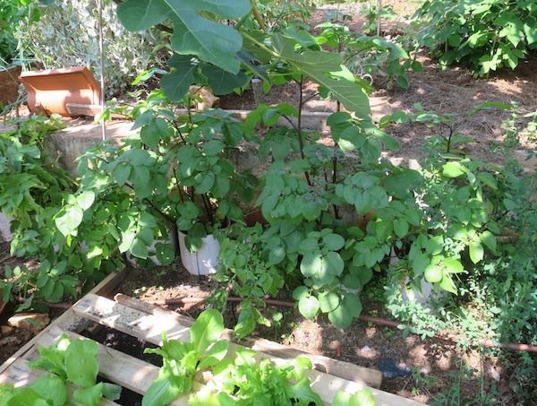 Ispod crne smokve koju je dobila od Romana Bošca, salata raste u letvaricama, a krumpi uza zid ( Fotografija Božica Brkan / Oblizeki)