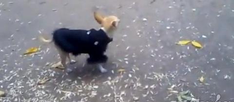 Cachorro VS Pombos