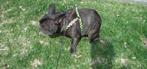 Bulldog com problema de gases