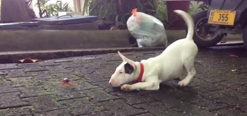 Quando um Bull Terrier resolve brincar com um caranguejo: