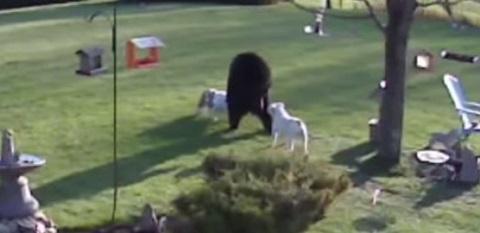 Quando um urso se depara com dois Bulldogs