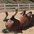 Um cavalo com problema de gases