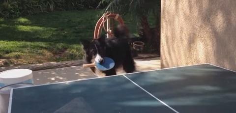 Um cachorro que adora jogar tênis de mesa