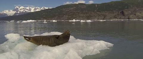 Nem uma foca tem sossego mais nesse mundo