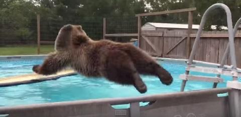 Um urso de estimação que adora a piscina