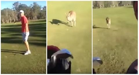 Um canguru que odeia golfe