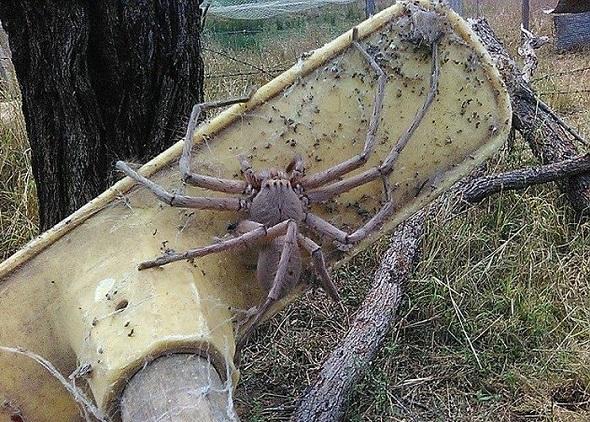 Aranha Gigante 02