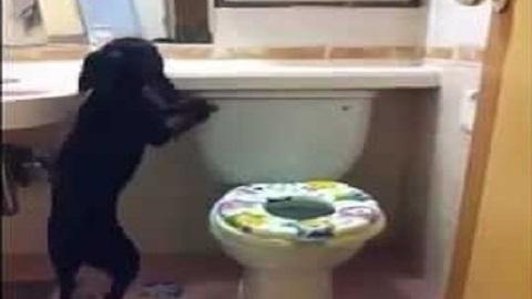 Um cachorro que sabe como usar o banheiro