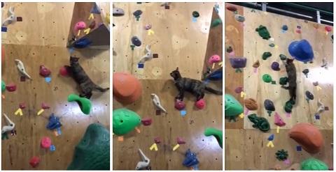 Um gato que adora parede de escalada