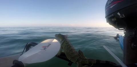 Iguana pegando uma carona para o manguezal mais próximo