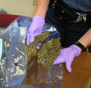 marijuana_bust_osp_71606