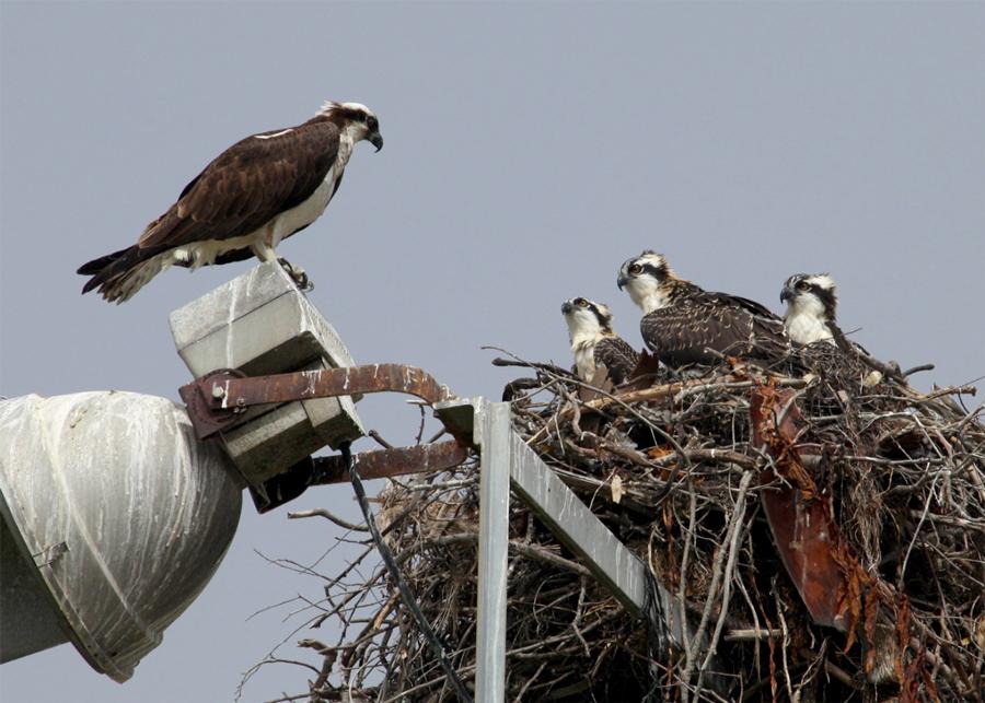 Osprey female with three chicks