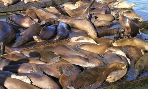 sea lions mass