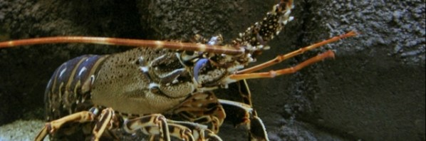Spiny Lobster. Photo taken in Crete Aquarium, Creta, Greece