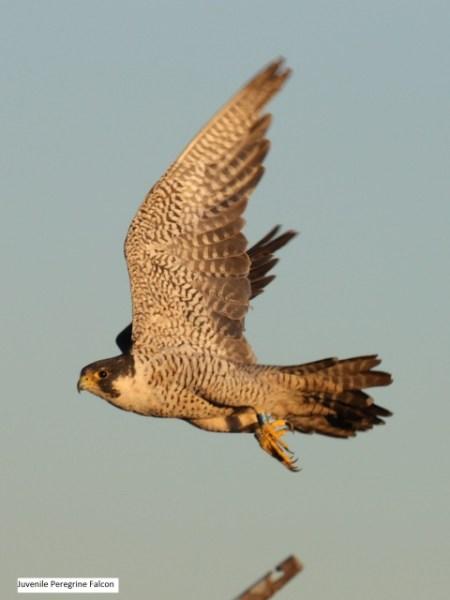 Peregrine falcon royL 01