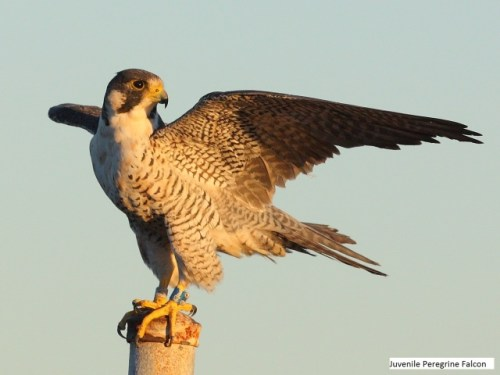 Peregrine falcon royL 03