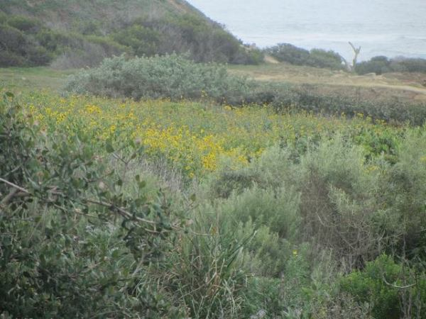 Sunset Cliffs park flowers02 Ma015