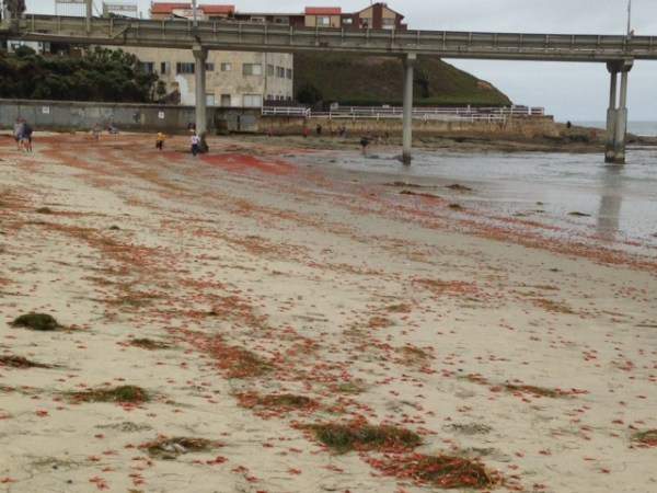 OB red crabs 6-11-15