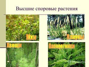 Växter med högre spor