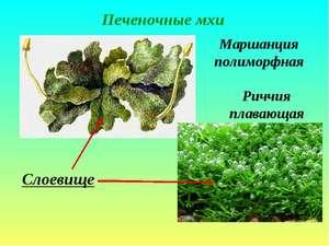Bryophyte växter