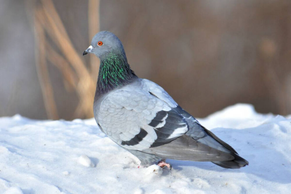 группы птиц зимующие (главный ключ)