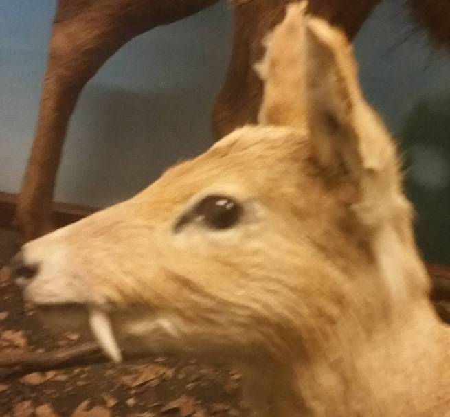 Fanged Deer
