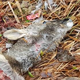traces croc loup donon vosges onf avril2018