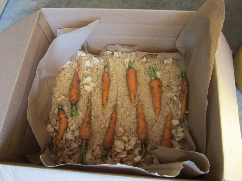Storing carrots with sawdust(Simply Resourceful)