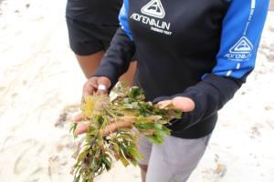 Une espèce de phanérogammes marines (Posidonia australis) présente en abondance sur Rottnest island.