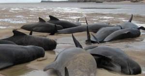 Forces TV picture: 2011 Cape Wrath, Scotland, mass stranding event