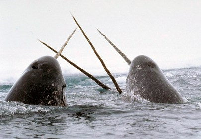 "Narwhals ""tusking"" - US DOJ photo"