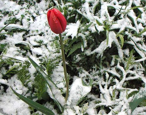 winter-tulip.jpg