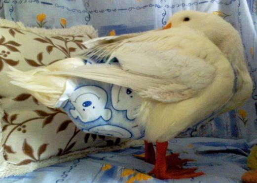 duck-with-diaper.jpg