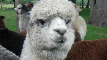 alpaca2