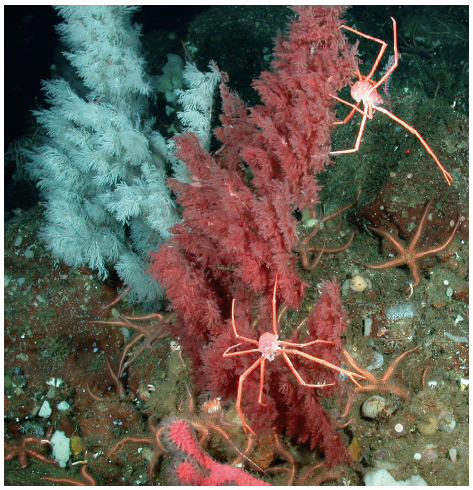 The Christmas tree coral (Antipathes dendrochristos). In situ red and white color variants of Christmas tree coral colonies within the Southern California Bight. These coral colonies were found at 300 m depth and were approximately 50 cm tall (Fig. 1; Huff et al. 2013).
