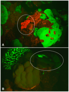 Figure 5:  Images of reef fishes fluorescing in their natural habitat captured with a Red Epic video camera at night in the Solomon Islands. (A) A red fluorescing scorpionfish, Scorpaenopsis papuensis, perched on red fluorescing algae. (B) A green fluorescing nemipterid (bream), Scolopsis bilineata, near a green fluorescing Acropora sp. coralhead