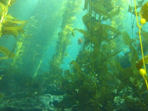 A healthy California kelp forest.