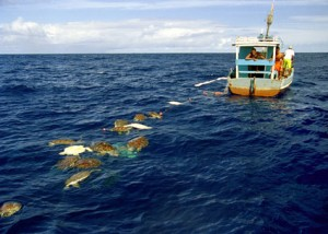 Figure 1: Sea turtles incidentally caught by a fishing boat (© Projeto Tamar Brazil – Image bank)