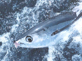 Figure 2: Pacific Albacore (Source: http://www.fishwatch.gov/seafood_profiles/species/tuna/species_pages/pacific_albacore_tuna.htm)