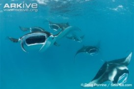 Fig. 1: Manta rays (Manta alfredi) swim with their mouths open in order to filter feed.