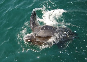 Leatherback turtle at sea. Credit: Kara Dodge/The Large Pelagics Research Center
