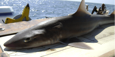 "Smooth dogfish (Mustelus canis) is a common shark species along the US eastern seaboard, long considered a ""trash fish"" because of its high abundance and low commercial value (Source: Wikipedia.org)"