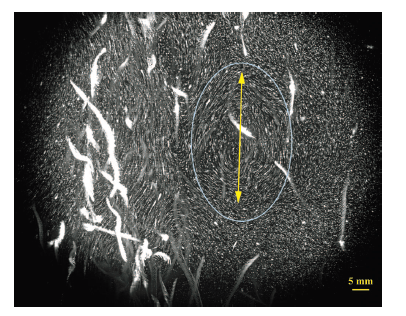 Figure 4. Particle image velocimetry analyses revealed that vertically swimming zooplankton aggregates form Kelvin-Helmoltz instabilities which result in eddies (blue oval) that mix water at scales much larger than the zooplankton itself.