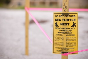 Fig 2: Sea turtle conservation is a big deal (defendersblog.org).