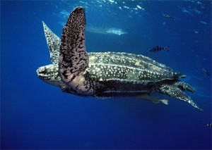 Fig 3: The leatherback sea turtle (nmlc.org).
